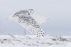 2017 Snowy Owls 0231