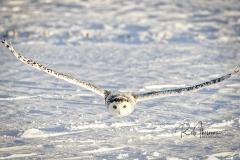 2017 Snowy Owls 2143-Edit