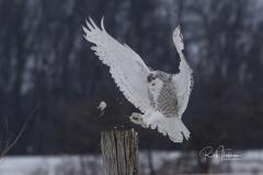 2017 Snowy Owls 3766