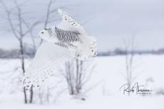 2017 Snowy Owls 4836