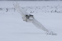2017 Snowy Owls 6354