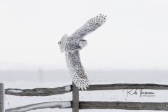 2017 Snowy Owls 7891