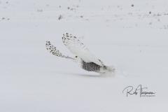 2017 Snowy Owls 8001